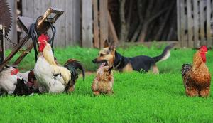 dogs-chickens_iStock-Thinkstock-600x346